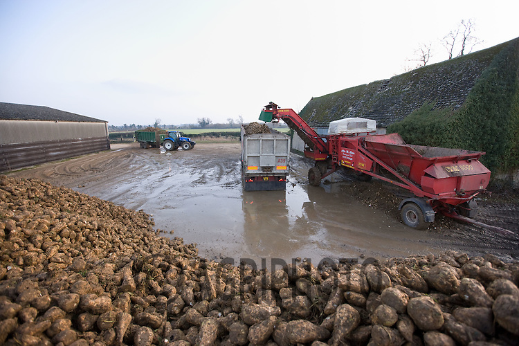 A transport company loads beet to take to the factory.