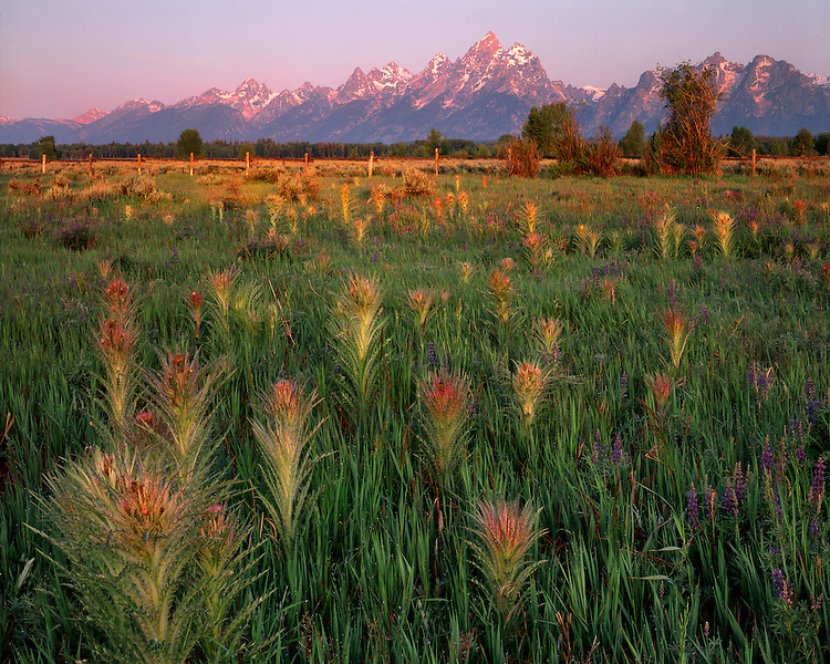 Sunrise light on a field of thistles below the Teton Range; Grand Teton National Park, WY