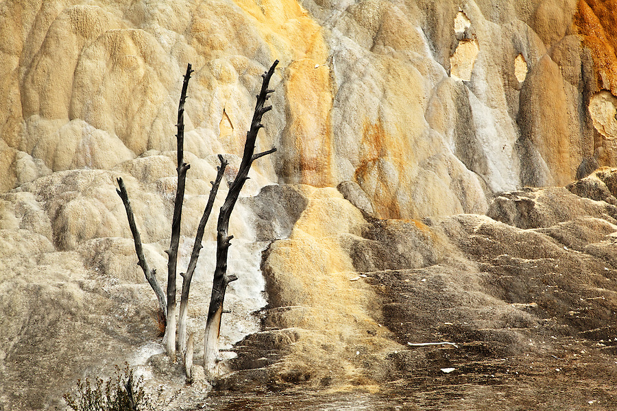 Dead tree overtaken by travertine terrace at Mammoth Hot Springs, Yellowstone National Park, Wyoming, USA