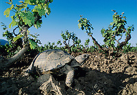 Herman's Tortoise, Testudo hermanni, adult in Vineyard, Samos, Greek Island, Greece, April 1994