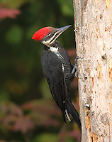 Adult female pileated woodpecker perched on a dead snag.<br />