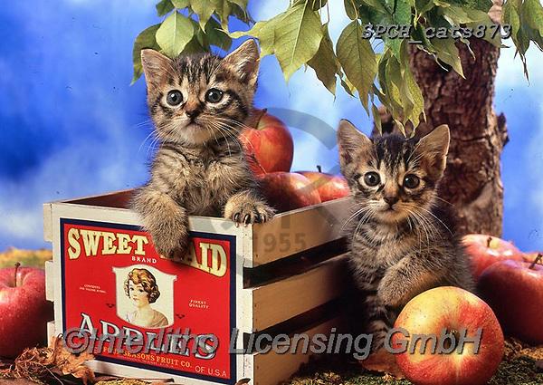 Xavier, ANIMALS, REALISTISCHE TIERE, ANIMALES REALISTICOS, cats, photos+++++,SPCHCATS873,#a#, EVERYDAY