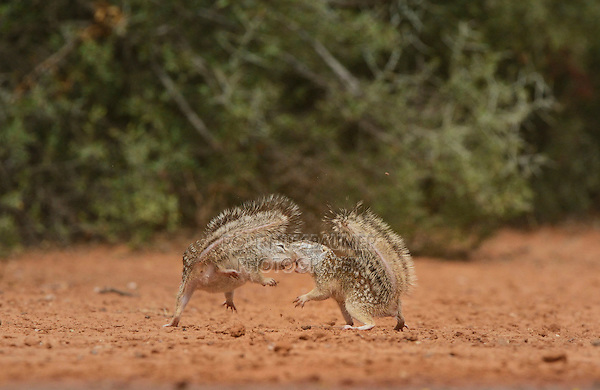 Mexican Ground Squirrel (Spermophilus mexicanus), adults fighting, South Texas, USA