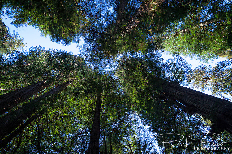Redwood trees reach for the sky at prairie creek redwoods state park in Northern California near the town of Orick.