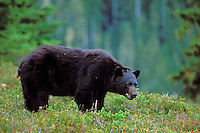 Black Bear boar stands among huckleberry bushes in Western U.S. mountains.  Sept.  Huckleberries.are an important food for western black bears.