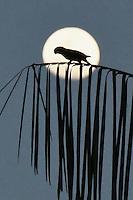Periquito-de-cabeça-suja <br /> Aratinga weddellii (Deville, 1851)<br /> feita na Área de Proteção Ambiental Raimundo Irineu Serra, a 10 quilômetros do centro de Rio Branco (AC)<br /> Rio Branco, Acre, Brasil.<br /> Foto Altino Machado<br /> 11/12/2016