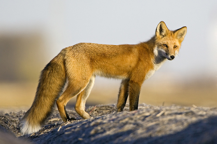 Red Fox standing on top of some hay bales