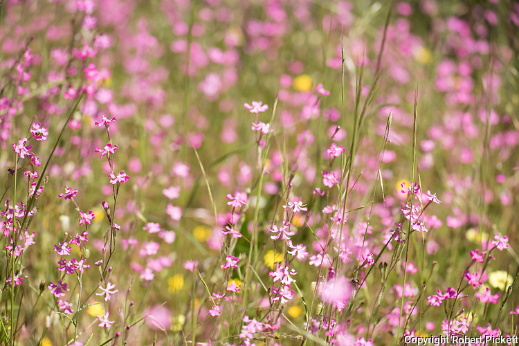 Pink Pirouette, Silene colorata, Ria Formosa East, Algarve, Portugal, flower meadow,