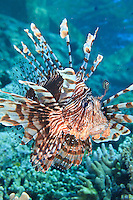 Volitans Lionfish ( Volitans Lionfish ) underwater along the coral reef off Wakatobi, southeast Sulawesi, Indonesia.