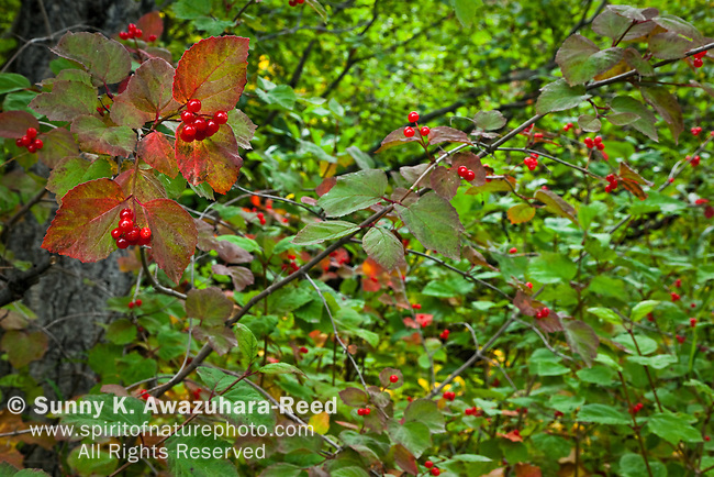 Northern Red Currant, Fall Colors, Wrangell - St. Elias Park, Alaska