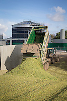Tipping forage maize into a clamp for anaerobic digestion - October, Lincolnshire