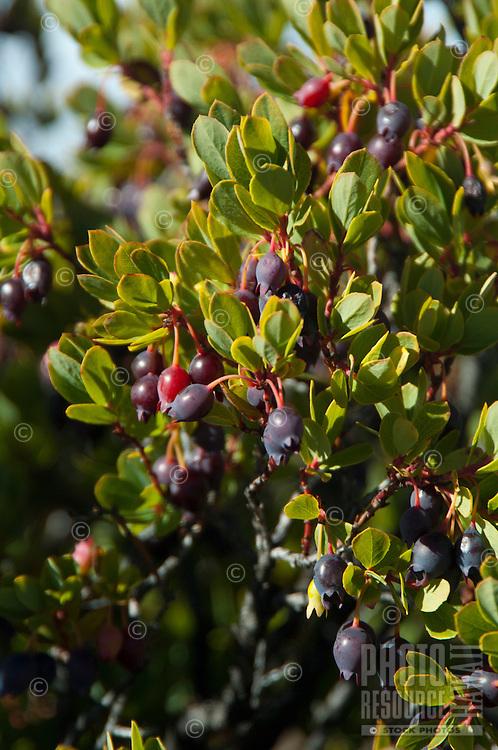 'Ohelo berry bushes, Haleakala National Park, Maui.