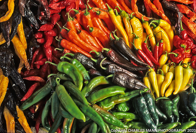 An arrangement of colorful New Mexico grown chile peppers seems to become a work of art when arranged in a cluster.