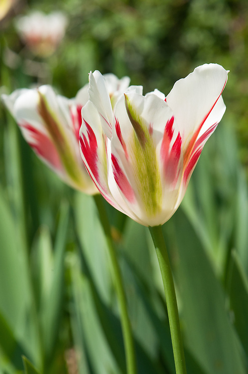 Tulip 'Flaming Spring Green' (Viridiflora Group), late April.