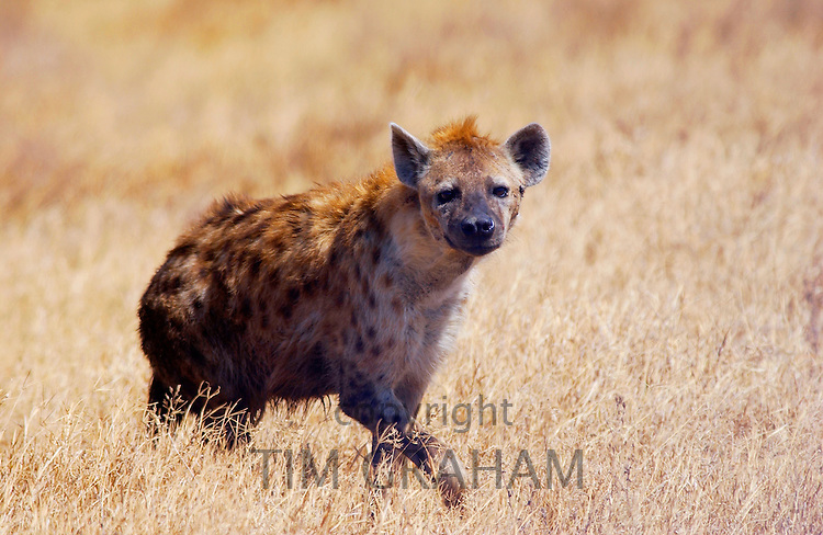 Spotted Hyena walking in grassland Ngorongoro Crater, Tanzania