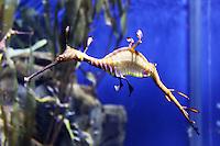Stock photo: Sea dragon in Georgia Aquarium, USA.