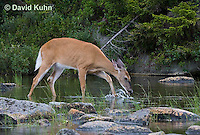0623-1018  Northern (Woodland) White-tailed Deer Drinking Water, Odocoileus virginianus borealis  © David Kuhn/Dwight Kuhn Photography
