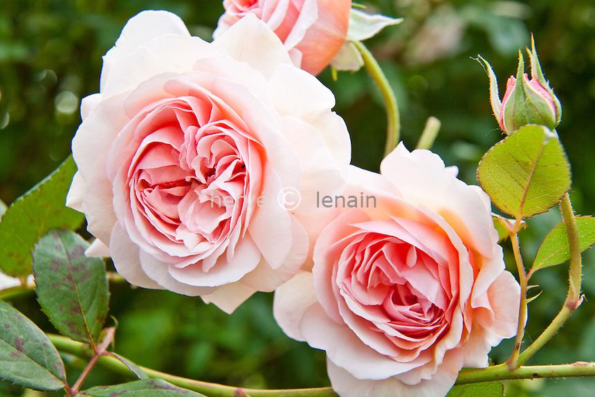 Rosa 'A Shropshire Lad', rose 'A Shropshire Lad'. (David Austin)