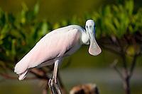 A roseate spoonbill (Ajaja ajaja) bird rests along the banks of a mangrove forest in Cuba.