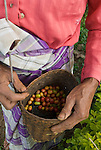 Detail of freshly harvested coffee beans in an old womans basket