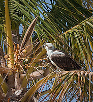 Osprey with his beak open, whistling, sitting in a palm tree
