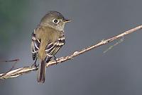 Least Flycatcher - Empidonax minimus - immature