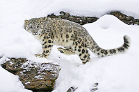 Snow Leopard walking on a snowy cliff - CA