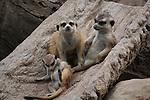 meerkats on log