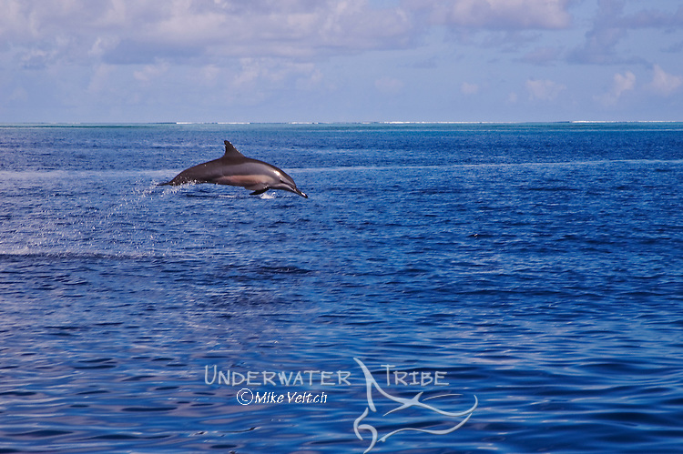 A Spinner Dolphin leaping, Stenella longirostris, Yap, Micronesia, Pacific Ocean