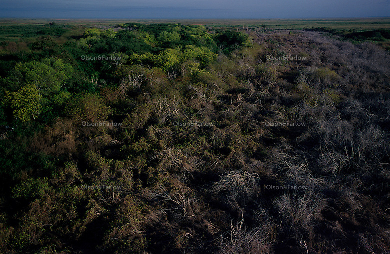 A swath of dead Brazilian pepper plant borders native trees that were valued and not sprayed in the restoration of Lake Okeechobee. The spray is targeted to only kill the plants <br /> they do not want. The pepper plant as well as melaleuca took over 500,000 acres of South Florida wetlands before restoration began. South Florida Water Conservation and the Everglades National Park are embarked on the largest wetlands restoration attempted--and the most expensive.