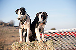 Black and white border collies in sit on a hay bale in the back of a pickup truck.