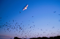 Mexican free-tailed bats (Tadaria brasiliensis mexicana) emerge to forage for insects. This species migrates between Mexico and Texas, residing in Texas from April through October and giving birth and raising young during that time. The Devil s Sinkh hole