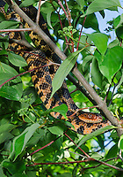 Eastern Fox Snake (Pantherophis gloydi) hunting in tree, spring, Lake Erie region, North America.