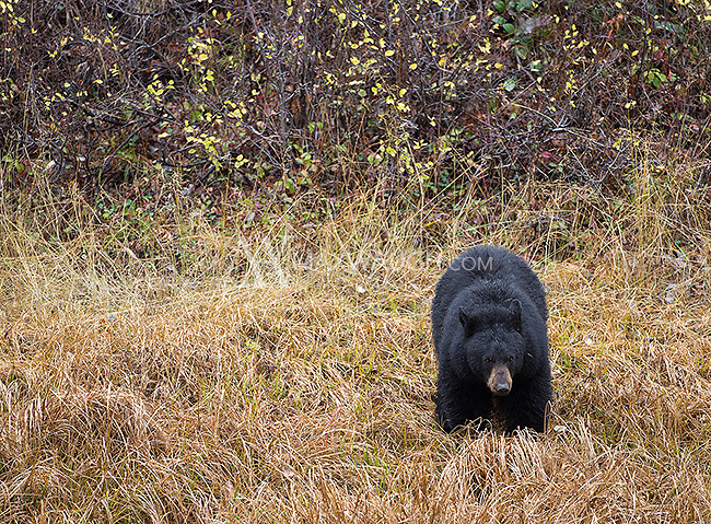 A black bear tries to feed as much as possible prior to the onset of winter.