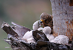 Kestrel nest with chicks on trunk of palm tree