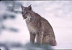 juvenile lynx