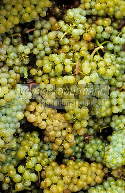 Europe/France/89/Yonne/AOC Chablis: Les vendanges de Jean Durup à Maligny - Grappes de raisins blancs cépage Chardonnay