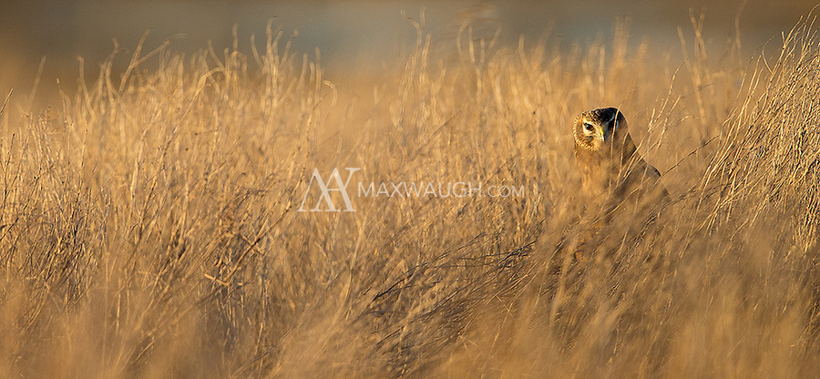 The Northern harrier is a shy raptor that can be difficult to photograph.