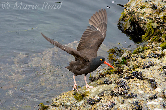 Black Oystercatcher(Haematopus bachmani), with outstretched wings, Santa Cruz, California, USA
