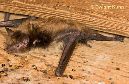 MA20-632z  Little Brown Bats, Myotis lucifugus