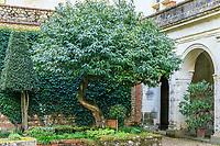 France, Sarthe (72),  Poncé-sur-le-Loir, jardin du château de Poncé en avril, patio, laurier du Portugal