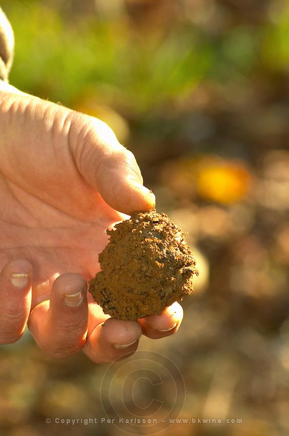 A truffle just dug out of the ground, but unfortunately this truffle is rotten since it has been in the ground since last season Truffiere de la Bergerie (Truffière) truffles farm Ste Foy de Longas Dordogne France