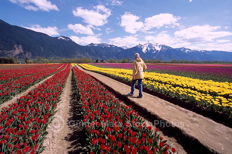 Fraser Valley, Southwestern BC, British Columbia, Canada - Woman walking on Path through Tulips in Field at Tulip Bulb Farm