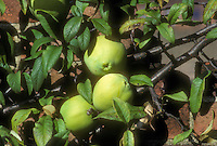 Chaenomeles cathayensis in fruit (Quince) against brick wall showing three fruits, branches and leaves