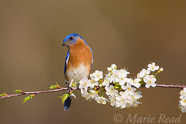 Eastern Bluebird (Sialia sialis), male perched amid cherry blossom in spring, New York, USA