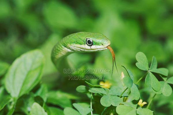 Rough Green Snake (Opheodrys aestivus), adult, Sinton, Corpus Christi, Coastal Bend, Texas, USA