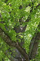 Sommer-Linde, Sommerlinde, Linde, Blick ins Blätterdach, Baumkrone, Tilia platyphyllos, Tilia grandifolia, large-leaved lime, Large Leaved Lime, largeleaf linden, large-leaved linden, lime, linden, Le tilleul à grandes feuilles