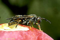 SF06-021z  Paper Wasp - Polistes spp. - host for parasite pupa stresiptera (Xenos peckii)