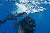 qh1483-D. Atlantic Sailfish (Istiophorus albicans) feeding on sardines, here slashing bill sideways in attempt to hit and stun sardine (behind). Some consider this the same species as the Indo-Pacific Sailfish (I. platypterus). Mexico, Gulf of Mexico..Photo Copyright © Brandon Cole. All rights reserved worldwide.  www.brandoncole.com..This photo is NOT free. It is NOT in the public domain. This photo is a Copyrighted Work, registered with the US Copyright Office. .Rights to reproduction of photograph granted only upon payment in full of agreed upon licensing fee. Any use of this photo prior to such payment is an infringement of copyright and punishable by fines up to  $150,000 USD...Brandon Cole.MARINE PHOTOGRAPHY.http://www.brandoncole.com.email: brandoncole@msn.com.4917 N. Boeing Rd..Spokane Valley, WA  99206  USA.tel: 509-535-3489