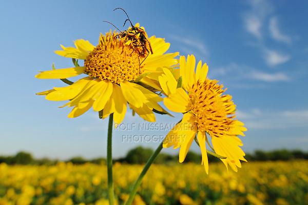 Soldier beetles (Cantharidae) on Huisache Daisy (Amblyolepis setigera), blooming, Laredo, Webb County, South Texas, USA